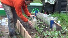 Cuidados del cultivo de guisantes en invierno