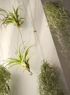 Airplant by teracrea