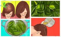 Folhas de Goiaba Para Combater Aqueda de Cabelo   Saúde em Dia