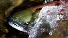 """For more than 100 years, Vancouver has been transforming from wilderness to metropolis, and dozens of salmon bearing streams have been sacrificed over the years while development took over. But a new project is now underway aimed at bringing some of those streams back to life. The project involves a complex process called """"daylighting,"""" and environmentalists are hoping salmon won't be the only species to return."""