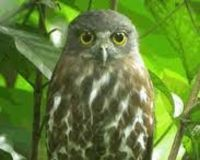 save the Little Sumba Hawk-owl (Ninox sumbaensis) - The Petition Site World Birds, Humming Birds, Owls, Sign, Google Search, Owl, Signs, Board, Tawny Owl