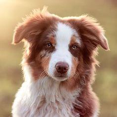 Pastor ovejero australiano, o Aussie ... son fácilmentte los perros más bellos del mundo.