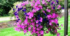Cara Menanam Bunga Tapak Dara dengan Mudah