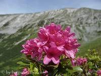 Alpenrosensteig Plants, Plant, Planting, Planets