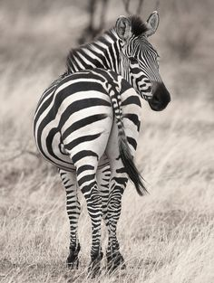 Backward Glance - This zebra just stopped and seemed to be saying goodbye. Zebra Pictures, Animal Pictures, Large Animals, Cute Animals, Wild Animals, Zebra Decor, Baby Rhino, Baby Zebra, Cool Wall Art