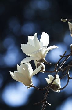 magnolia - one of my favorite trees. We have two beautiful Merrill Magnolia in the garden! Amazing Flowers, My Flower, White Flowers, Flower Power, Beautiful Flowers, Beautiful Gorgeous, Flor Magnolia, Magnolia Trees, Magnolia Flower