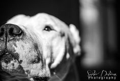 Dogo Argentino Breeders, Sd, Dogs, Animals, Animales, Animaux, Doggies, Animais, Dog