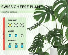 9 of the most low light tolerant indoor plants that exist! These plants actually thrive in the shade and will adapt to any amount of sunlight provided. Indoor Plant Lights, Indoor Plants Low Light, Plant Lighting, Plants Indoor, House Plants Decor, Plant Decor, Swiss Cheese Plant, Monstera Deliciosa, Fiddle Leaf