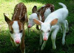albino deer and piebald deer