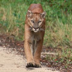 A Florida Panther.  It is related to the western cougar / mountain lion and once roamed the entire Eastern US.  It now resides in just southern Florida. tshilson