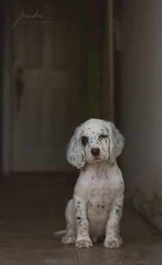 NEED an English setter pup!
