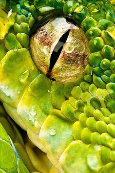 Snake Eye|Henrik Vind http://amphibian-reptile-conservation.org