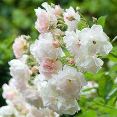 Penelope. Shrub rose, fragrant.
