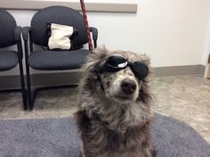 Minnie wears her doggles for her laser therapy.