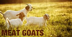 Starting your meat goat business.