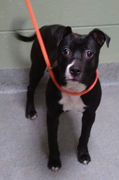 Manhattan Center MESHA - A1025059 FEMALE, BLACK / WHITE, PIT BULL MIX, 1 yr STRAY - STRAY WAIT, NO HOLD Reason STRAY Intake condition INJ MINOR Intake Date 01/09/2015, Main thread: https://www.facebook.com/photo.php?fbid=941982029148010