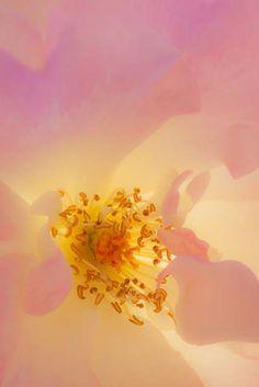 """ Rose "" 18.May.2013 昨年の5/18撮影。まだ、バラが綺麗との情報で、光を含んだバラをリベンジしたかった。。。が、ヘタレたので、昨年の写真を。"