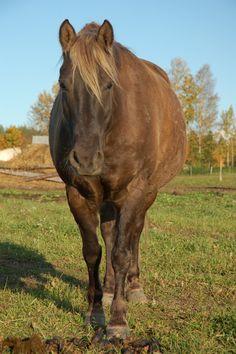Estonian horse Rafiid