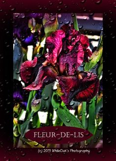 """Often while I am out doing photography, certain images will bring an inspirational thought or quote to my mind.  The Fleur-de-lis is a French word and although it has many meanings the one I found that I love the best is it has been interpreted as meaning the """"flower of light"""""""