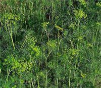 Aneth - L'aneth est un condiment et une plante médicinale aux propriétés carminatives puissantes, elle expulse les gaz intestinaux. L'aneth est préconisé pour ses qualités diurétiques et digestives, elle facilite la lactation, elle est aussi un antispasmodique. Son huile essentielle permet... https://www.complements-alimentaires.co/wp-content/uploads/2012/07/aneth-anethum-graveolens.jpg - Par Nathalie sur Compléments alimentaires  #Lesplantesdelafamilledes