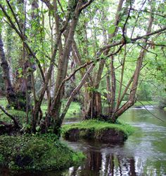 Alder trees in the Beaulieu River north of Fawley Ford, New Forest, by Jim Champion. Alder thrive in wet woodland Forests In England, Malta, Monaco, Alder Tree, Portugal, Plant Identification, Celtic Tree, New Forest, English Countryside