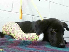 URGENT PLEASE SHARE - 13-week-old Labrador retriever puppy with broken leg at busy California shelter