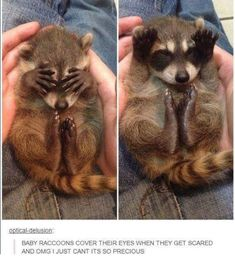 These Adorable Raccoon Pictures Will Make Your Monday! - World's largest collection of cat memes and other animals Cute Funny Animals, Funny Animal Pictures, Cute Baby Animals, Funny Cute, Animals And Pets, Cute Pictures, Jiff Pom, Chuck Norris, Tier Fotos