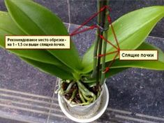 Формирование и обрезка орхидеи Фаленопсис