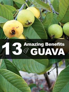 The health benefits of guava include treatment of diarrhea the health benefits of guava include the treatment of diarrhea dysentery constipation cough ccuart Image collections