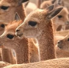 A camelid (vicuna) found in Argentina