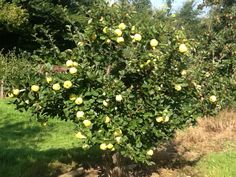 Quince tree.  Quinces for delicious Tracklements Quince Fruit Cheese #Tracklements #Quince #Cheese