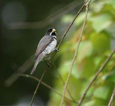 Coleiro macho - foto Luis Florit