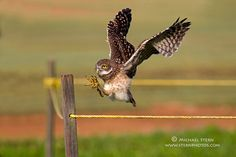 "Burrowing Owl Chick About to Land by Michael Stern | 500px ""A known location in South Florida USA; Brian Piccolo Park where the burrowing owls have been nesting for many years. This year has been exceptional as several nests have 4 to 6 babies. This is an image of one of them just as they are learning to fly."""