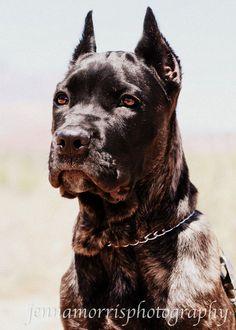 my dream dog Cane Corso