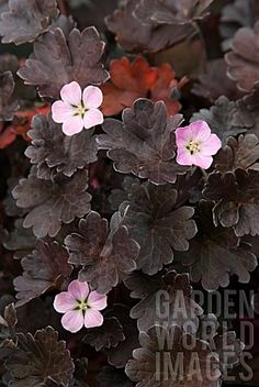 Geranium 'Chocolate Candy'. Chocolate leaves and candy pink flowers.