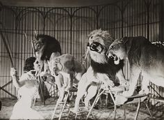 1936 A lion tamer at Bertram Mills Touring Circus, Ascot    Edward G Malindine    Collection of National Media Museum    This photograph is from the Daily Herald Archive, held at the National Media Museum. It is a collection of over three million press photographs, dating from c.1911-1970.    We're happy for you to share this digital image within the spirit of The Commons.