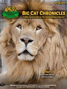 Turpentine Creek Wildlife Refuge: see big cats up close and personal, rescue facility in Eureka Springs