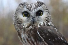 owls photograph - Google Search