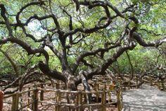 O Maior Cajueiro do Mundo; Parnamirim - RN - Brasil Também conhecido como cajueiro de Pirangi, é uma árvore gigante localizada na praia de Pirangi do Norte no município de Parnamirim, a doze quilômetros ao sul de Natal, capital do Rio Grande do Norte. A árvore cobre uma área de aproximadamente 8500 m² Em 1994, o cajueiro entrou para o Guiness Book (Livro dos Recordes)