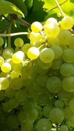 Our Grapes of #Glera from which we make soon our #prosecco #harvest15 #country #wine #Wineyards