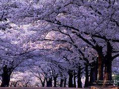 Royal Empress Tree (paulownia tomentosa) can grow more than five feet per year, until it reaches it's full height. In the spring the tree explodes with rich lavender flowers that look similar to orchids, and smell like jasmine. The tree grows as far north as Canada and as far south as Mexico.