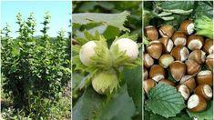 De ce este bine să ai în curte un ALUN! Dacă afli, o să-l plantezi chiar azi! Garden Pool, Fruit Trees, Permaculture, Garden Planning, Grape Vines, Bonsai, Flora, Vegetables, Cottages