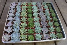 25 ROSETTE Only Wedding Succulent collection by SANPEDROCACTUS