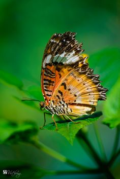 Butterfly 7 - Image & Photo by Hung Ho from Butterflies & moths - Photography (30963641) | fotocommunity
