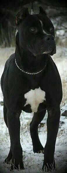 Gorgeous #pitbull