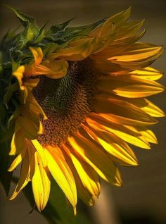 Love the colors in this Sunflower!