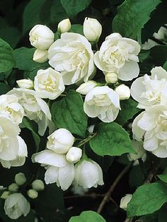Philadelphus 'Virginal' Mock Orange