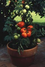 """tomato plants- pinch off sucker shoots before they reach size of pencil,water 1"""" water 1 or twice a week, avoid seedlings that have already started flowering as transplanting will set them back, harden off the plants before taking to the garden or you'll be setting them back, they like wind- it beefs up the stock so a couple of times a day walk by brushing the plants with your hands or shovel"""