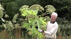 Video identification of Giant Hogweed