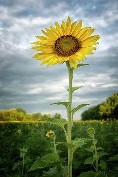 Sunflower In The Sky Photograph by Robert Fawcett